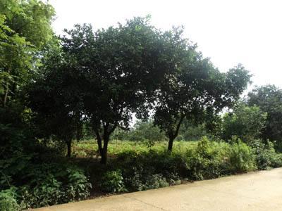 10公分香泡树
