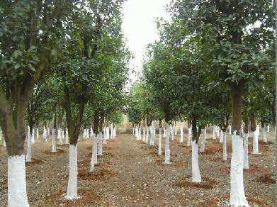 30公分-50公分移栽香泡树基地