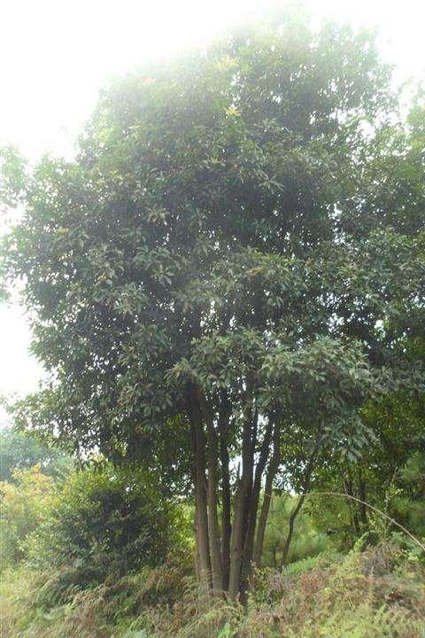 6-8杆丛生香泡树