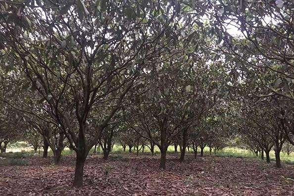 移植香泡树基地