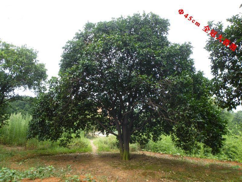 45cm公分大全冠香泡树