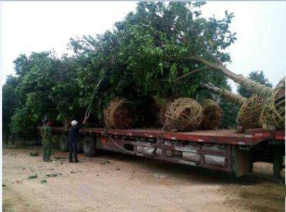 发往外省的20公分香泡树