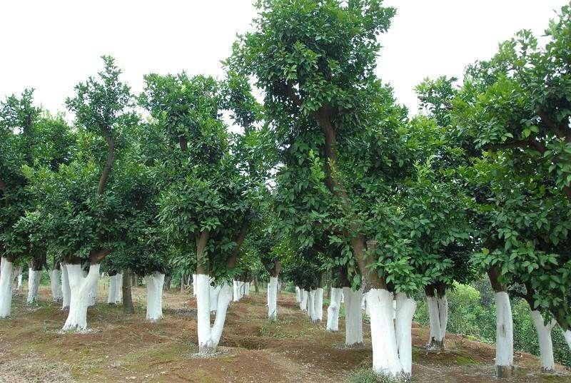 湖南精品香泡树基地 不同规格常年供应