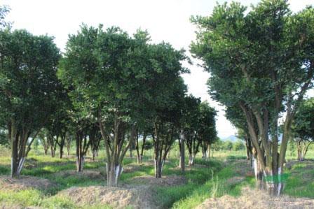3-4杆移栽丛生香泡树基地批发