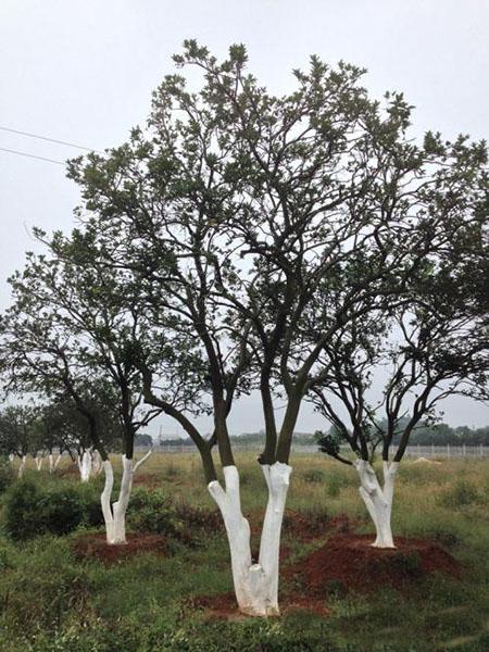 香泡树价格实惠的丛生香泡树