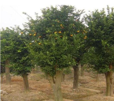 可马上结果实的移植香泡树