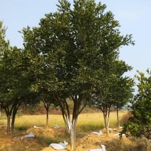 湖南丛生胡柚树