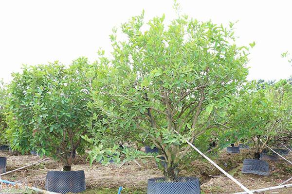 移栽容器丛生胡柚树