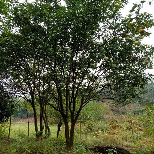 野生全冠丛生胡柚树
