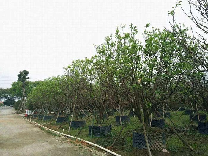湖南容器丛生胡柚树培育基地