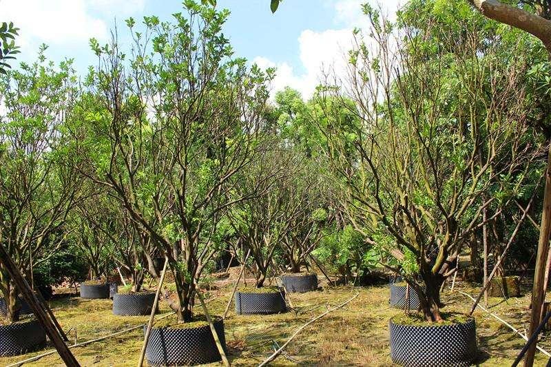10公分-30公分丛生胡柚树常年供应