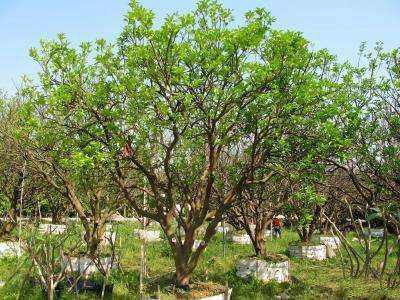 大型丛生胡柚树
