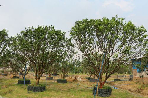 30公分-50公分丛生胡柚树